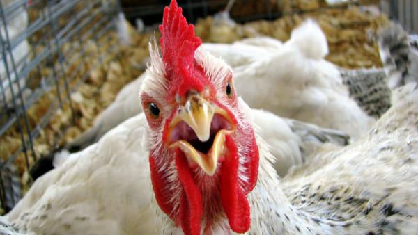 Рекорд з виробництва курятини може встановити найбільший світовий виробник