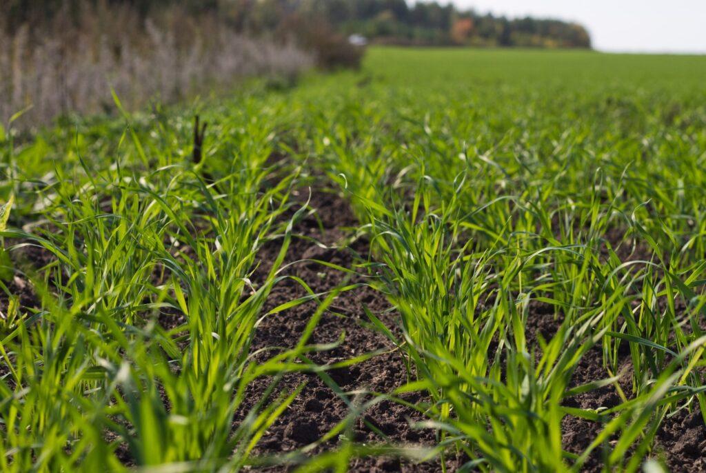 На більшій частині території країни підвищення температури повітря спровокувало пробудження фізіологічних процесів у рослини озимих зернових культур