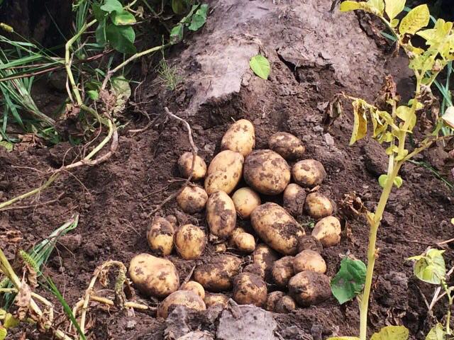 Чи зможе українська картопля вийти на ринок ЄС?