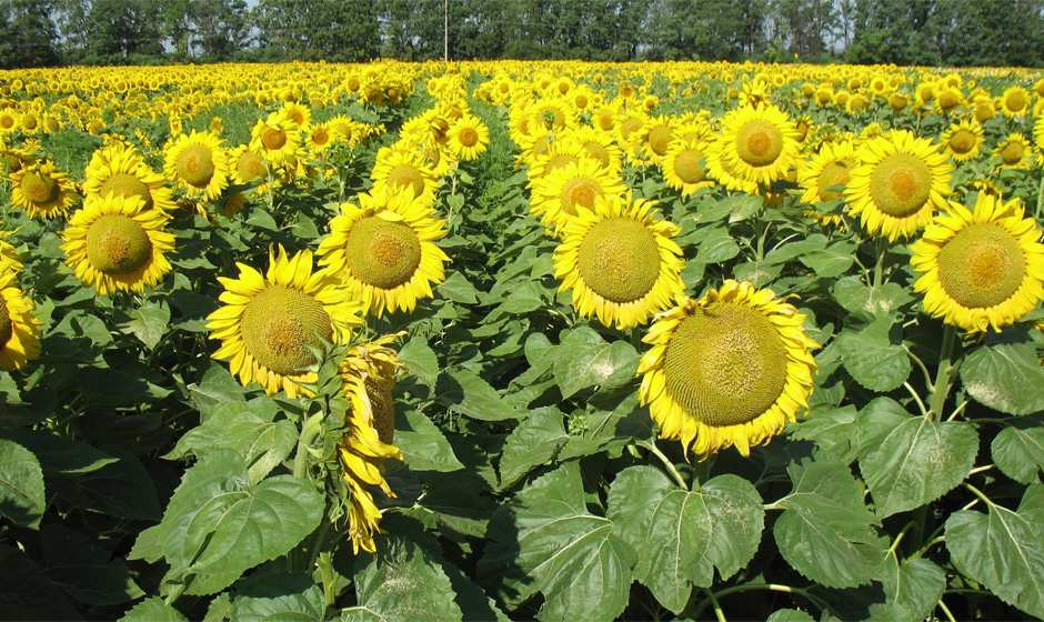 Україна збільшила експорт соняшнику майже в 4 рази