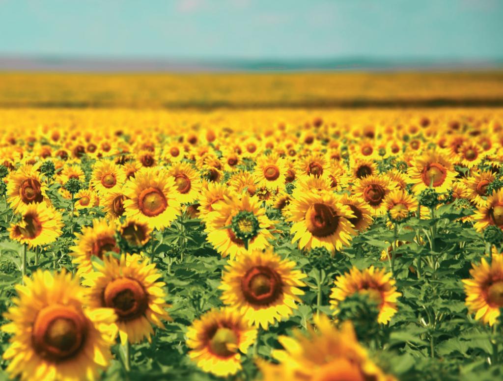 Закупівельні ціни на соняшник знову зросли