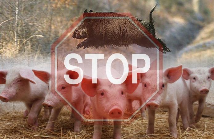 Спалах африканської чуми. На Буковині заб'ють 21 тисячу свиней