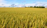 RAGT та Bayer підписали угоду щодо створення інноваційної селекційної програми гібридної пшениці для європейських ринків