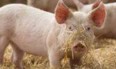 З другої декади травня ціни на свинину живою масою дещо послабилися