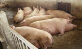 Надходження імпортної свинини скорочуються другий місяць поспіль