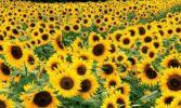 За 8 місяців сезону 2020/21 Україна переробила понад 10 млн. т. олійних культур
