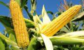 Площі посіву кукурудзи на Полтавщині найбільші серед областей
