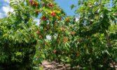 Площі під садами черешні в Україні залишаються практично сталими