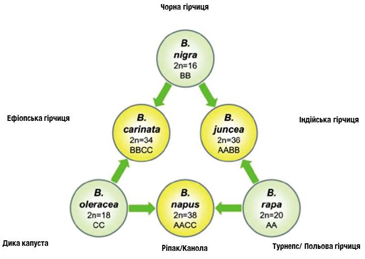Історія вдосконалення генетики та технологій вирощування ріпаку