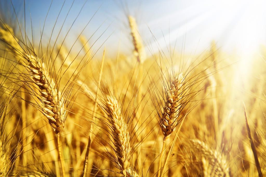 Аграрії намагаються оцінити втрати зернових через несприятливу погоду в Україні