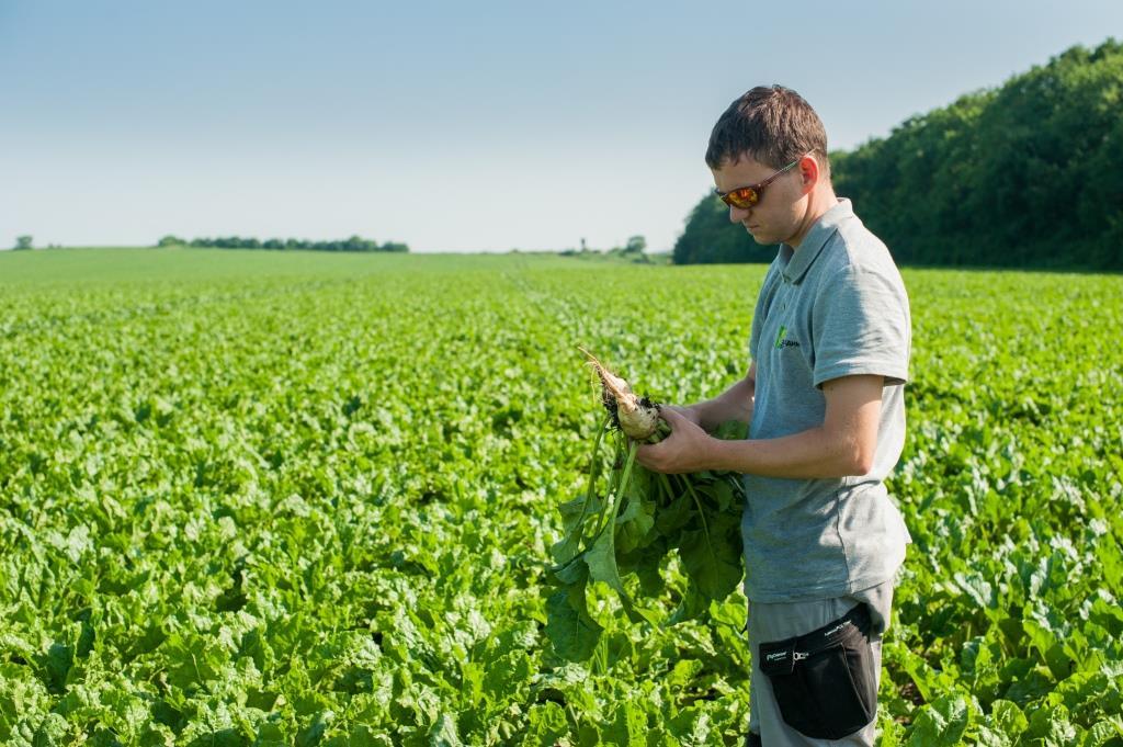 Цукровий буряк: від сівби – до збирання. ПП «Західний Буг»: «Гичка здорова, урожай має бути гарним»