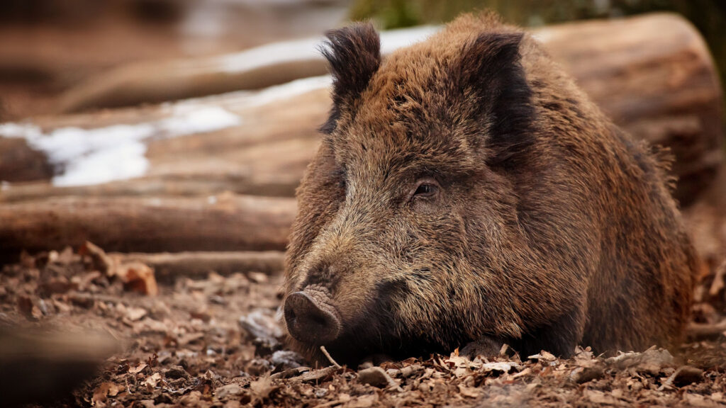 Дикі свині продукують стільки CO₂, як вихлопні гази мільйона автомобілів