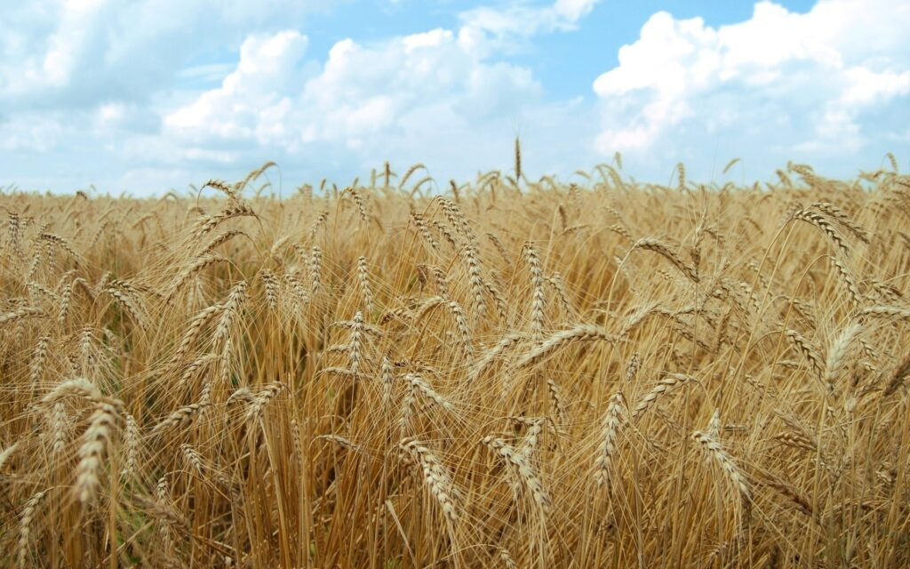 Аграрії всіх областей України розпочали збирання ранніх зернових та зернобобових культур
