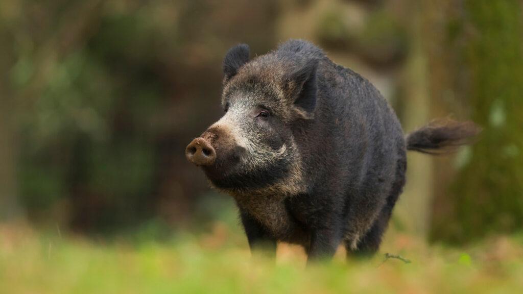 На Херсонщині зареєстровані випадки АЧС у диких кабанів