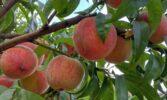 В Україні зменшуються площі під насадженнями персиків